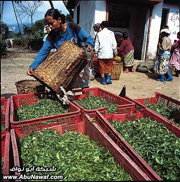 صور : الشاي الأشهر في العالم