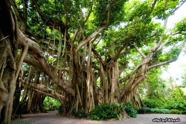 شجرة بانيان