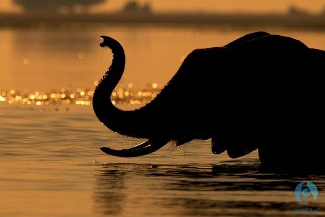 ظل الفيل