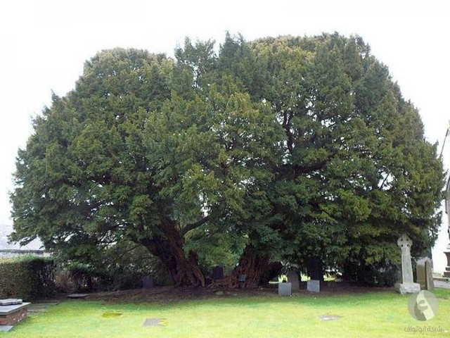أكبر الأشجار