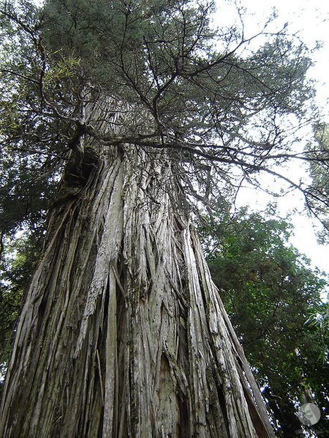 شجرة اليرسي