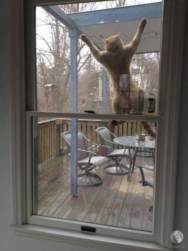 قط كبير